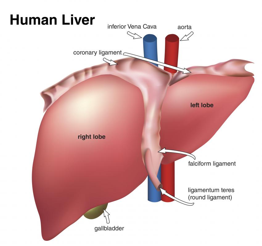 what is a liver cyst? (with pictures), Human Body