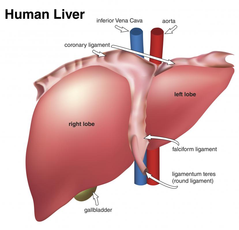 Located underneath the liver, the gallbladder stores and concentrates bile produced by the liver.