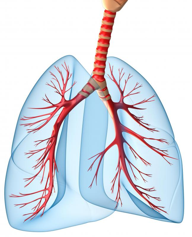 The bronchioles, or airways, in the lungs are in red.