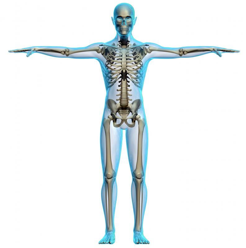 The endoskeleton protects internal organs from damage.