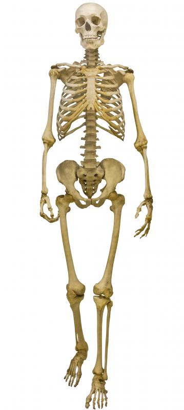 All of the bones in the body make up the human skeletal system.