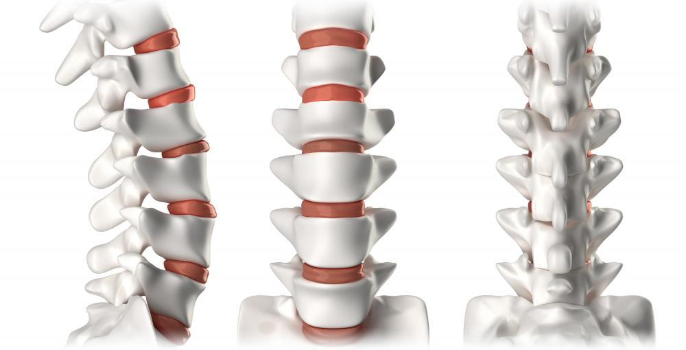 The individual vertebrae protect and support the spinal cord.