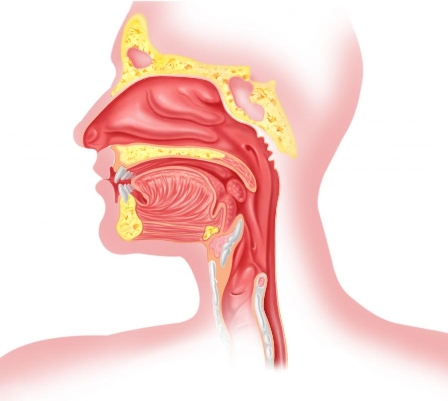 A crossection of the human head, including the throat.