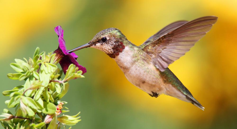 A hummingbird figures in Native American animal medicine.