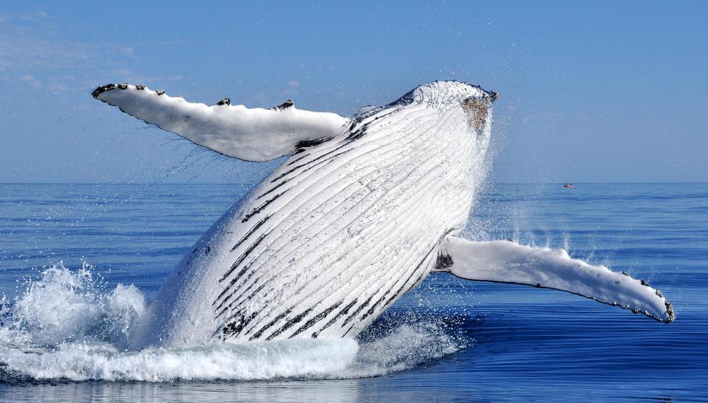 Whale watching is one possible volunteer vacation.