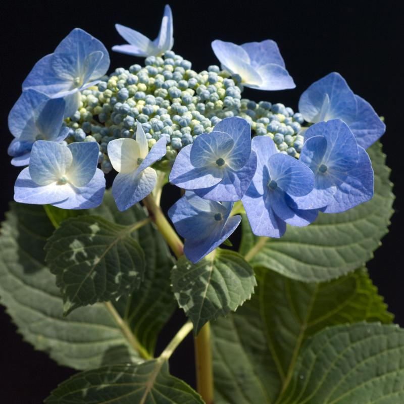 The hydrangea bush has large flowerheads, or clusters of small flowers, on the ends of its stems.