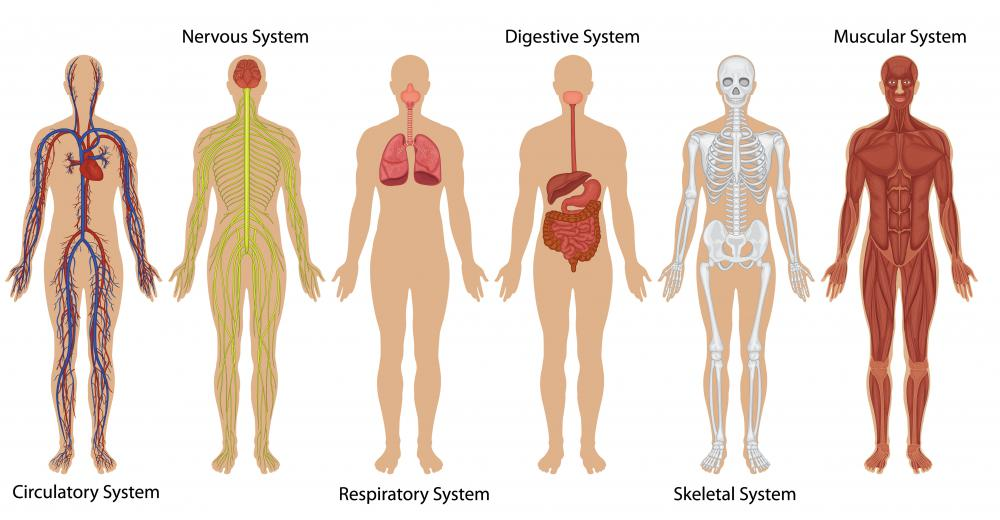 what systems are in the human body