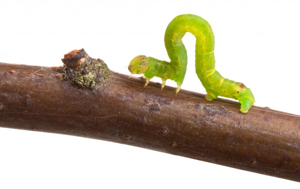Inchworms and other insect larvae can be pests in the garden.