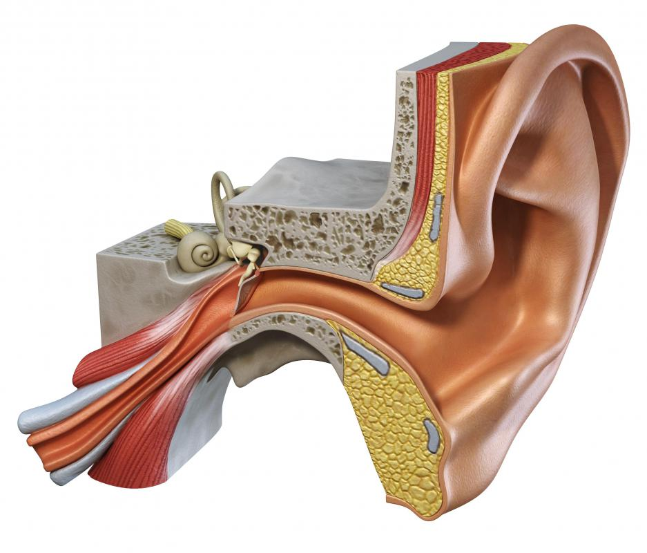 What is the Vestibular Nerve? (with pictures)