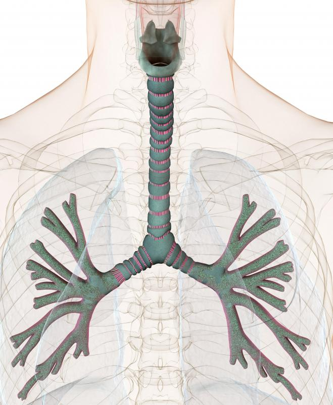 The trachea and bronchi allow air to enter the lungs for breathing.