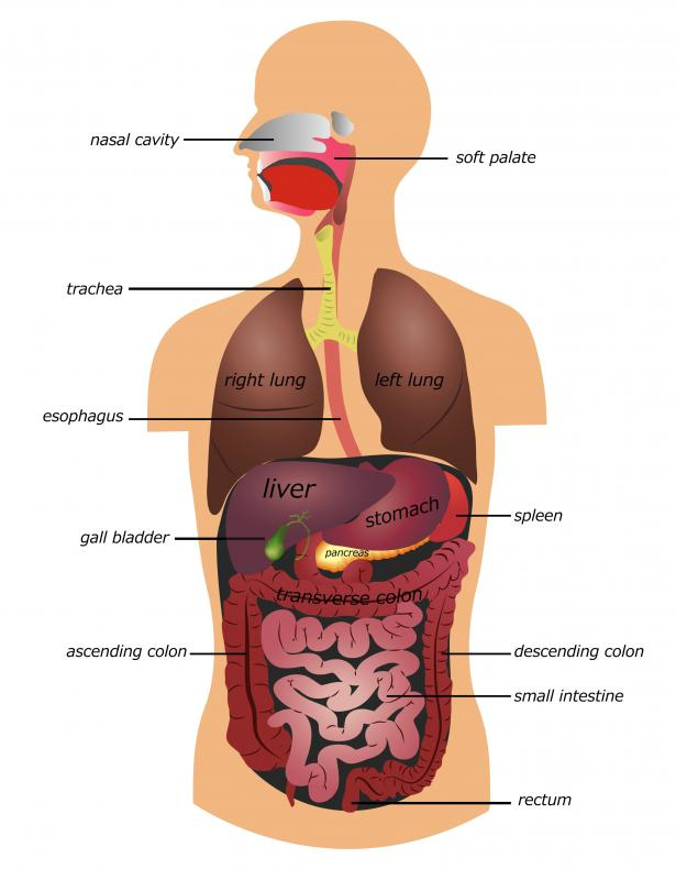 The ascending colon, part of the large intestine, is located on the right side of the body.