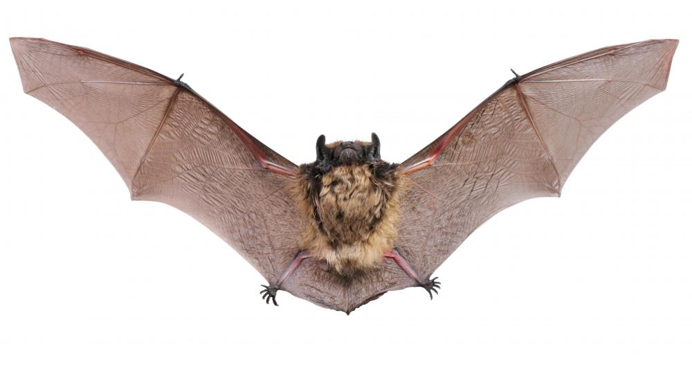 Bats cannot see well and use echolocation instead of their vision to navigate.