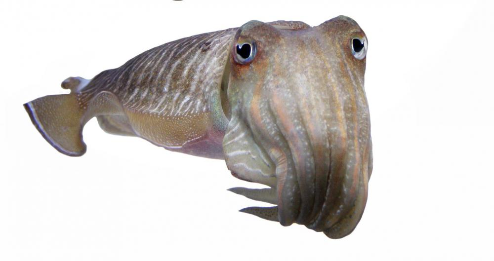 Cuttlefish are marine mollusks that are related to octopi and squids.