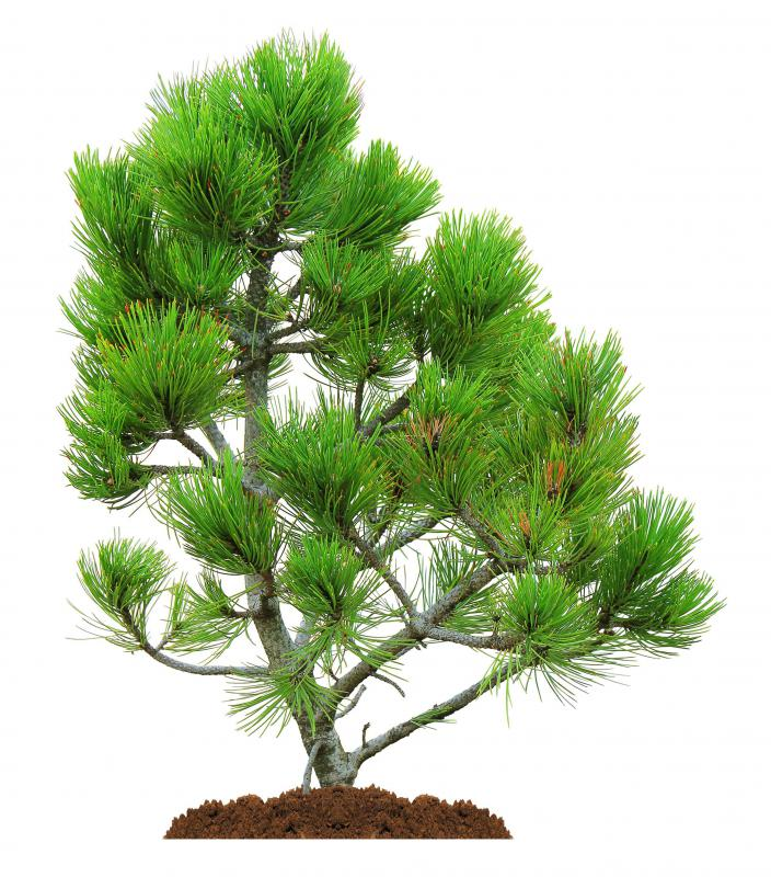 Pine trees are a type of conifer.