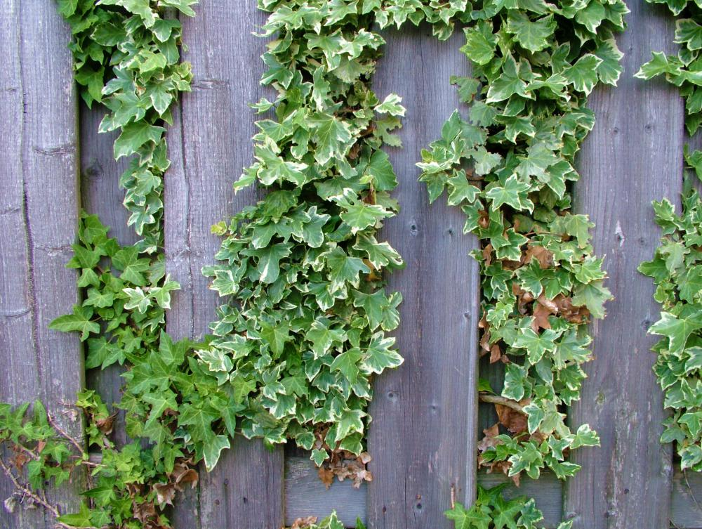 Weeping ivy, also called English ivy, can often be seen growing up walls, trees and fences.