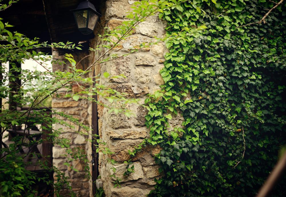 Ivy may be used to conceal ugly walls.