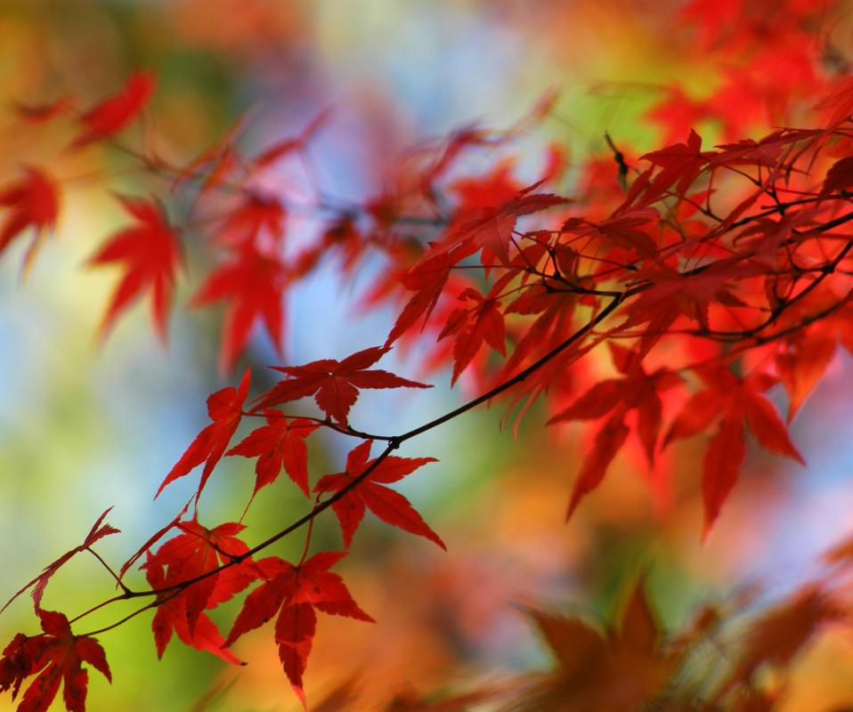 Dwarf Japanese maples are bred to be small, with many branches.