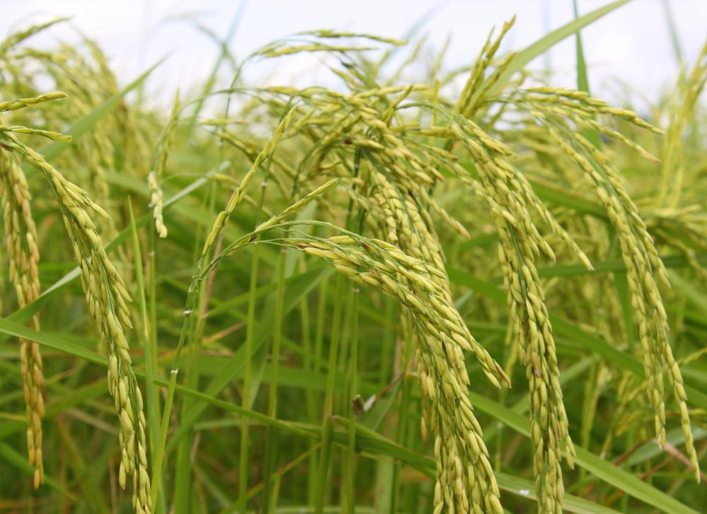 A medium grain rice plant.