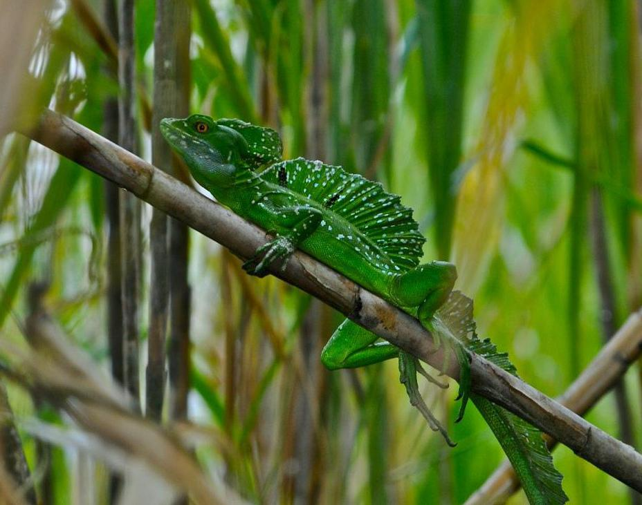 Basilisk lizards may dwell in rainforests.