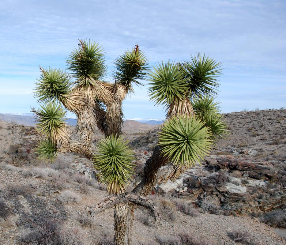 Joshua trees can be seen in the Mojave Desert in the United States.