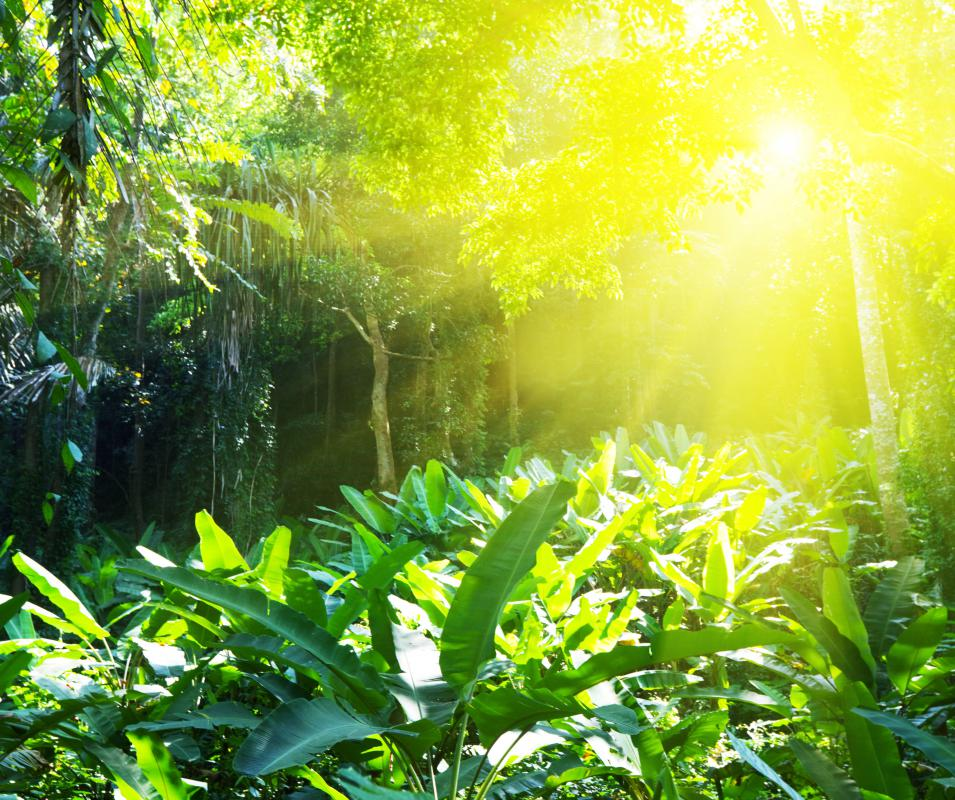 vegetation is ground level and dense it needs sunlight to thriveTropical Rainforest Sunlight