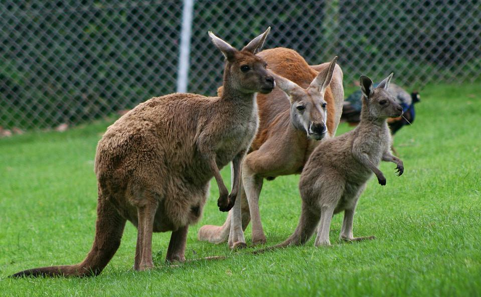 Kangaroos, the largest existing marsupial, are native to Australia.