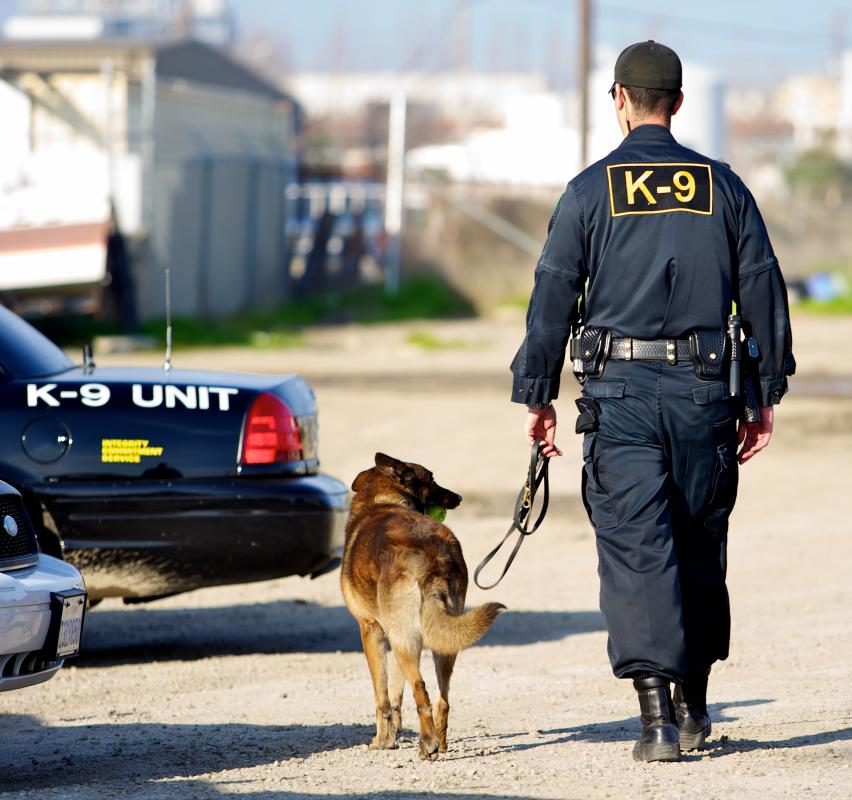German shepherds are common breeds used for police work.
