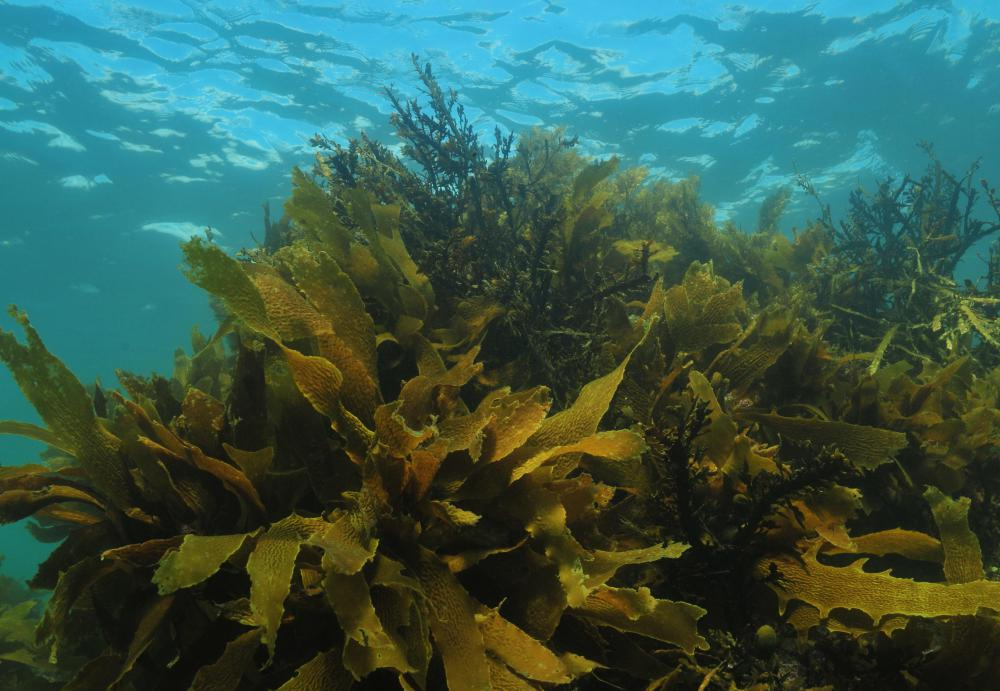 Kelp is often used as an ingredient in sauces used in Korean cooking.