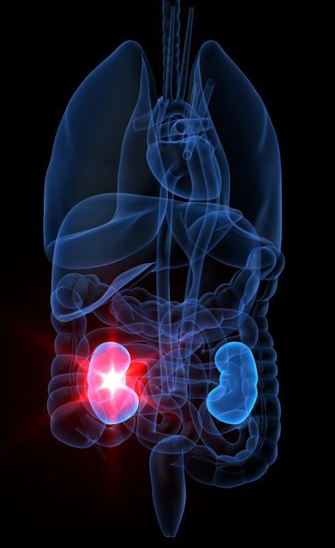 Kidneys play a crucial role in the urinary system and in maintaining electrolyte balance and blood pressure.