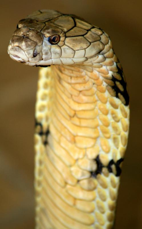Venom never actually enters the mouth of a cobra before it is propelled outwards.