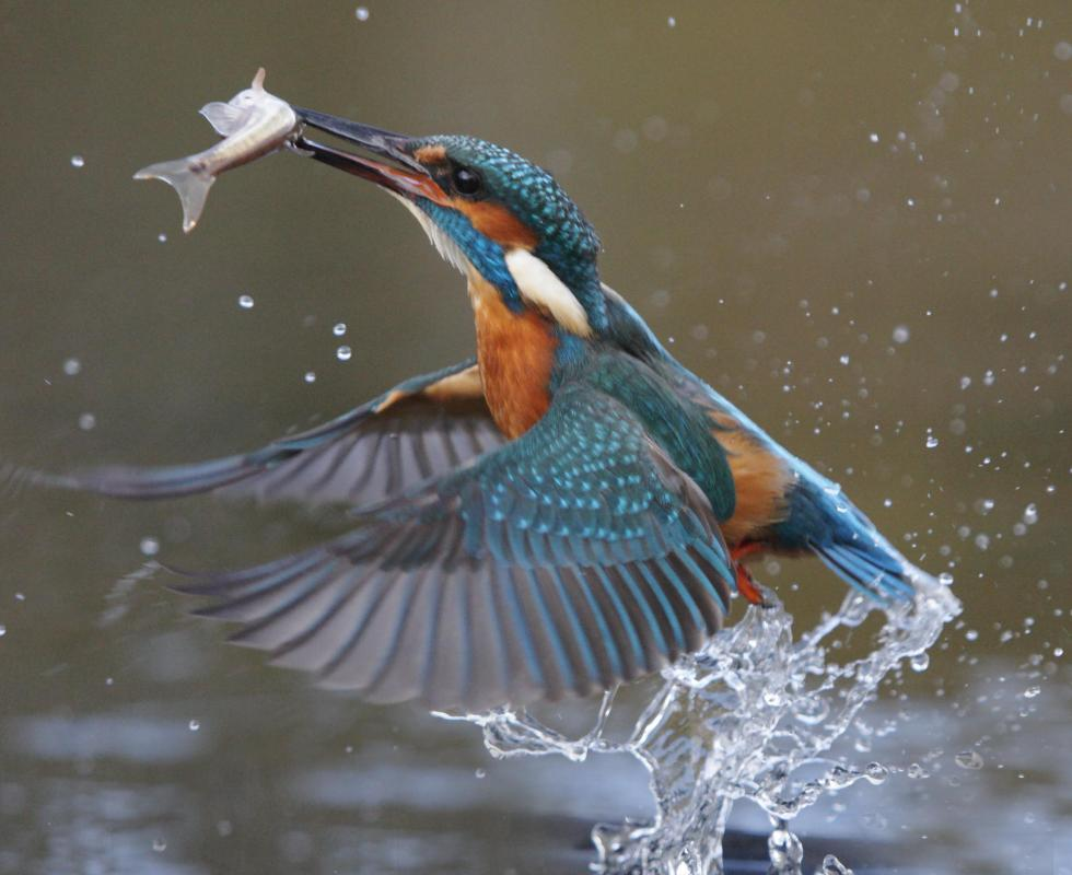Kingfishers feed on small fish.