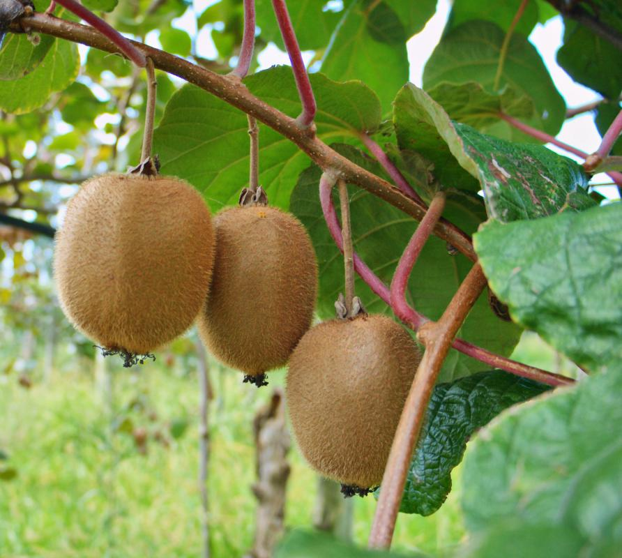 Kiwi fruit growing on the vine.
