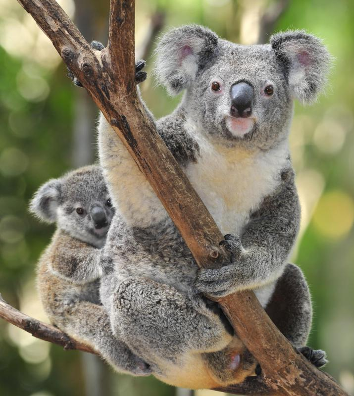 Koalas are one of the most well-known Australian fauna.