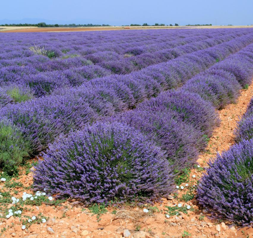 Sunlight is essential for growing lavender.
