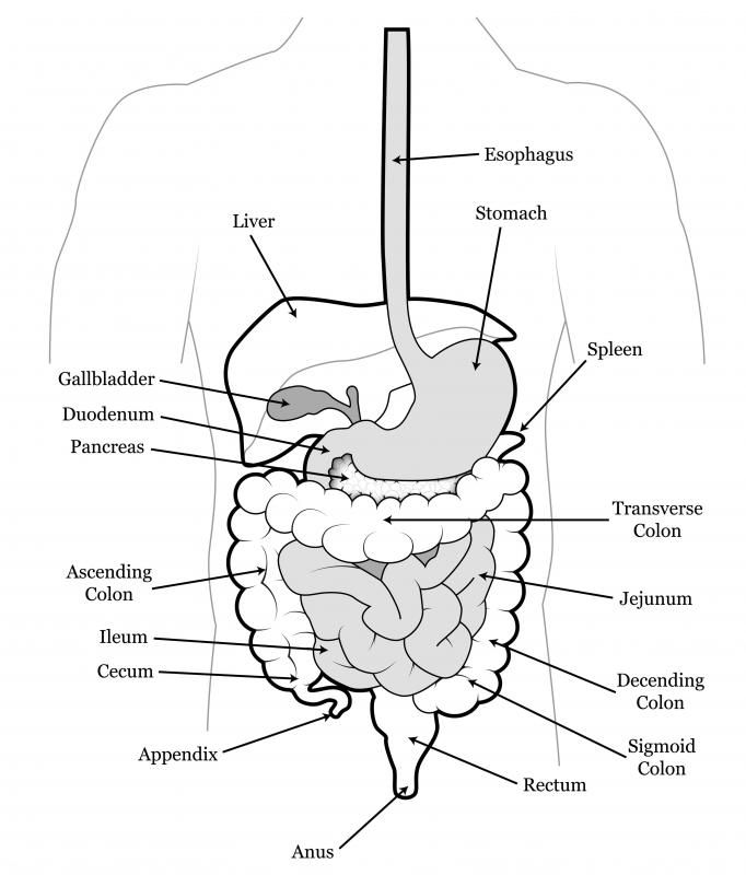 The ileum is the end part of the small intestine.