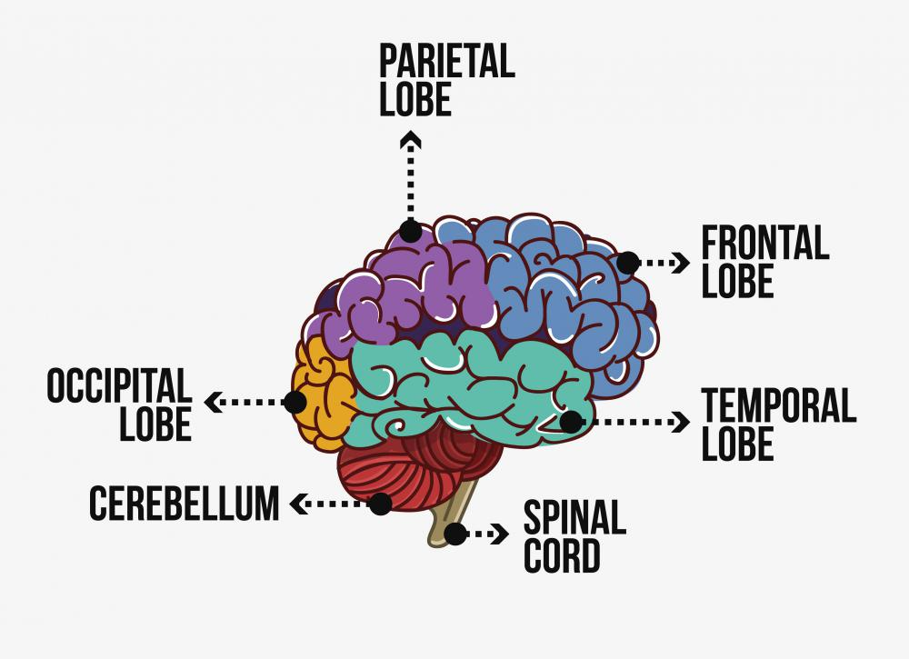 The occipital lobe is the part of the brain that helps turn what the eyes see into meaningful information.