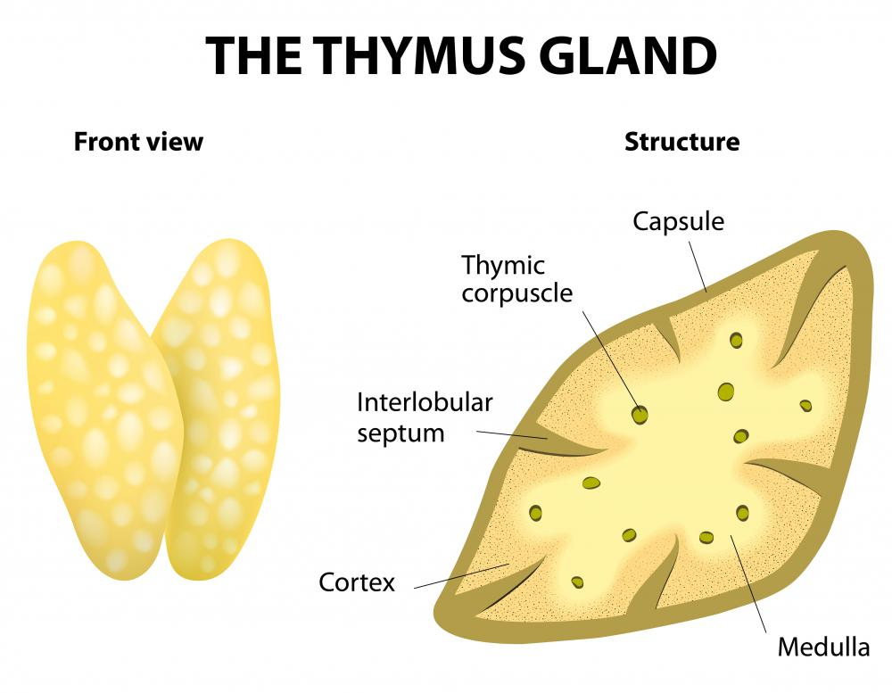 T cell lymphocytes develop inside the bone marrow, and then transfer to the thymus gland.