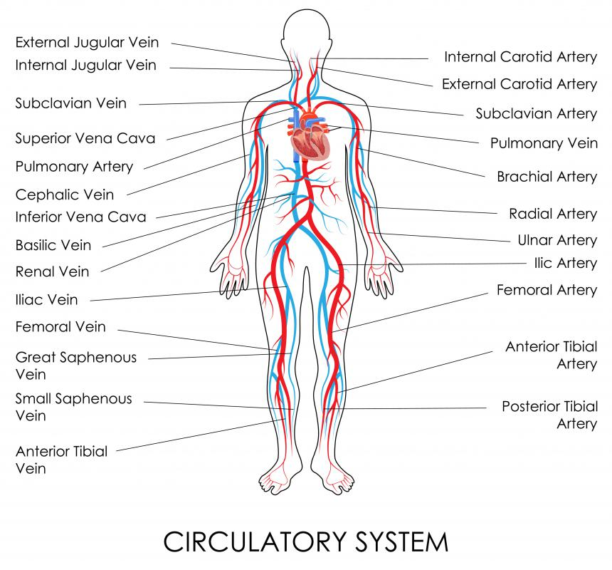 Veins of the circulatory system return deoxygenated and carbon dioxide-rich blood to the heart and lungs.