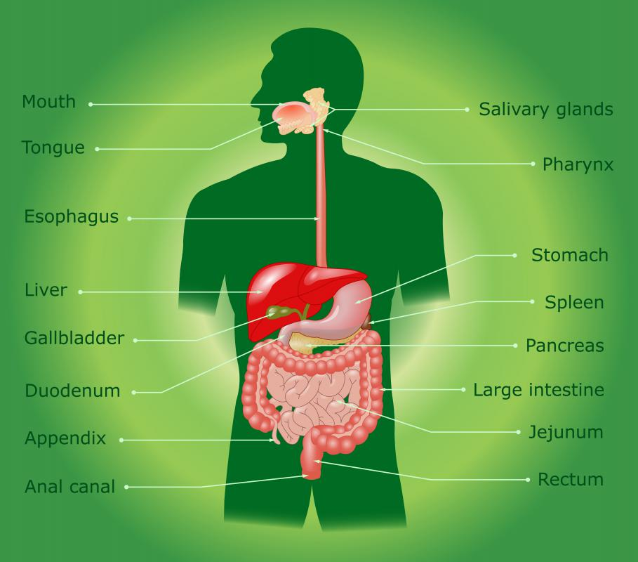 The salivary glands produce digestive enzymes.