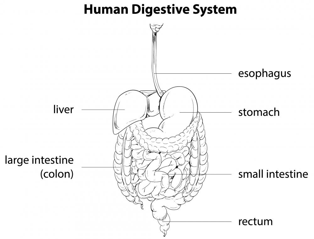 Somatostatin secretion has an important role in the human digestive system.