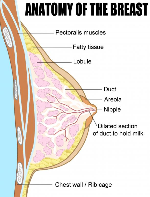 In women, the pectoralis muscle is positioned under the breast tissue.