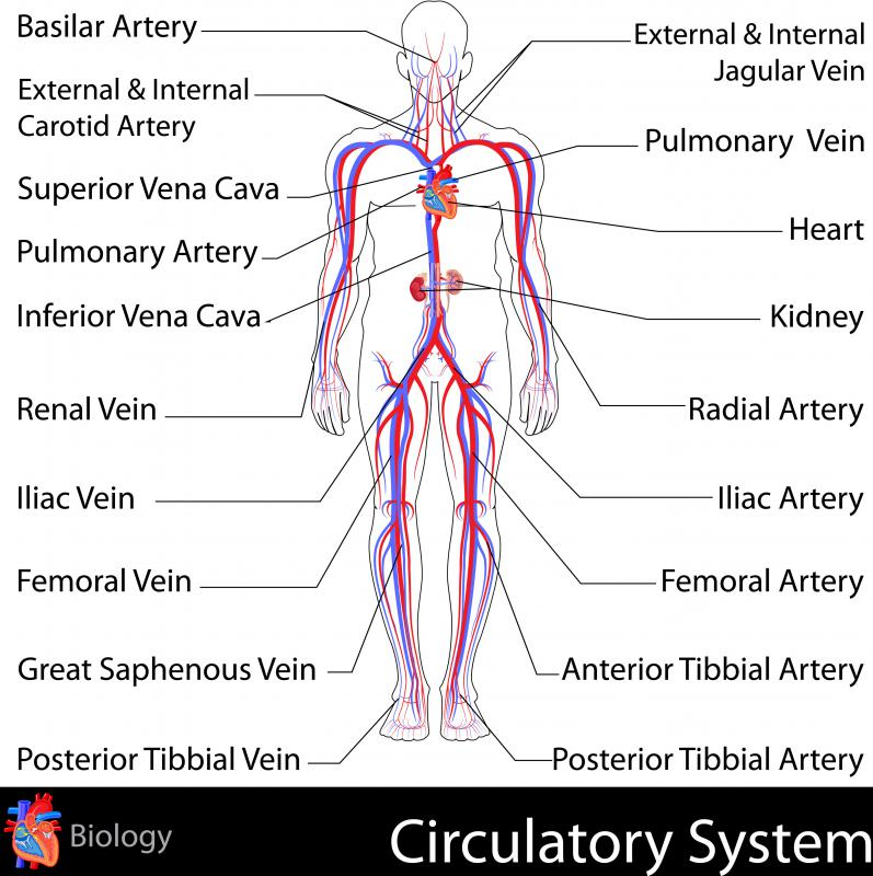 The jugular vein is part of the circulatory system.