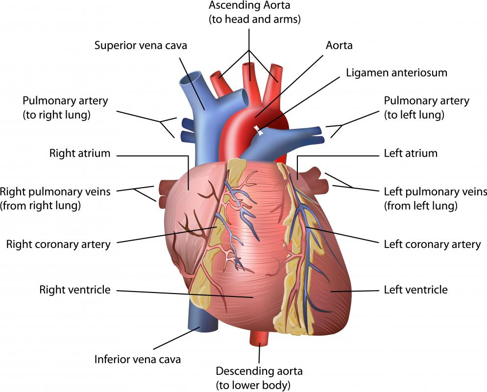 Contractions of cardiac muscles push blood through the four chambers of the human heart.