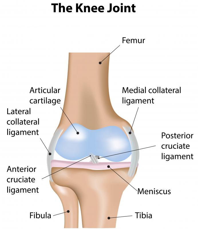 The three major bones of the leg, the femur, tibia, and fibula, converge at the knee joint.