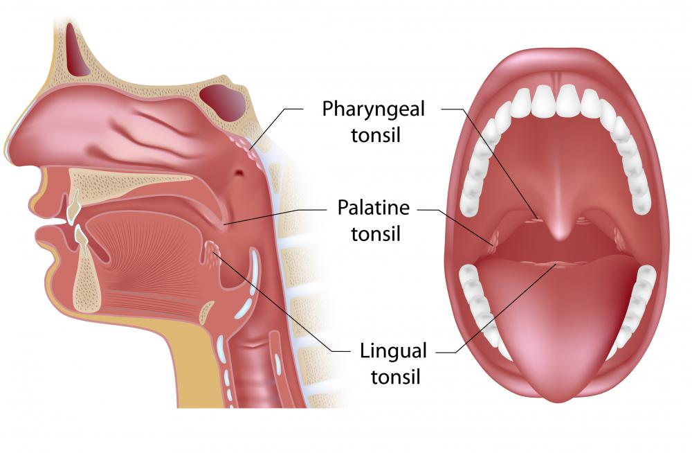 A diagram of the tonsils.