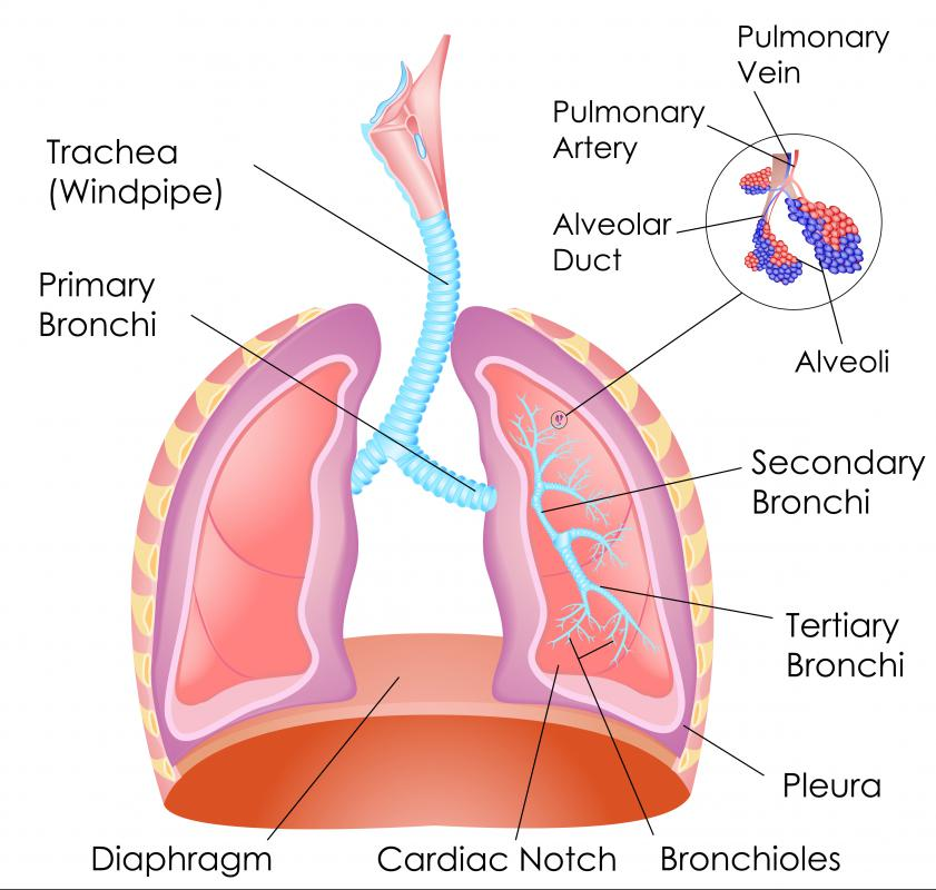 The endoderm forms the airways in the lungs: the trachea, bronchi and alveoli.