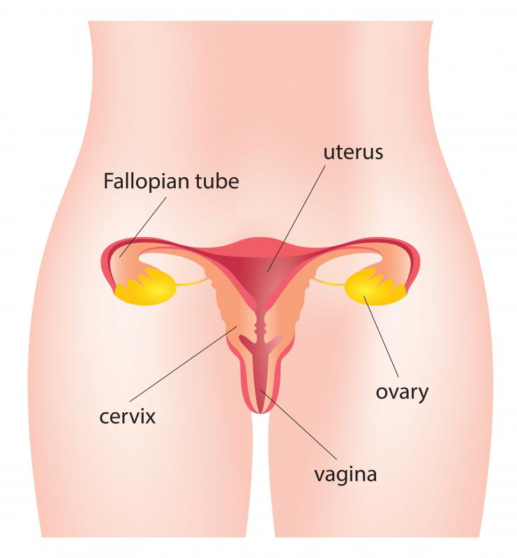 What Is The Uterus With Pictures