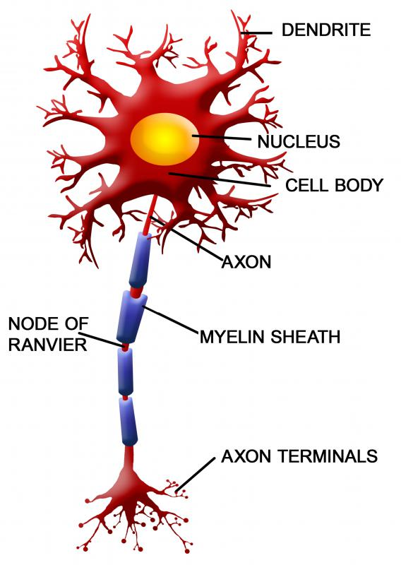 What Is Axon Collateral? (with pictures)