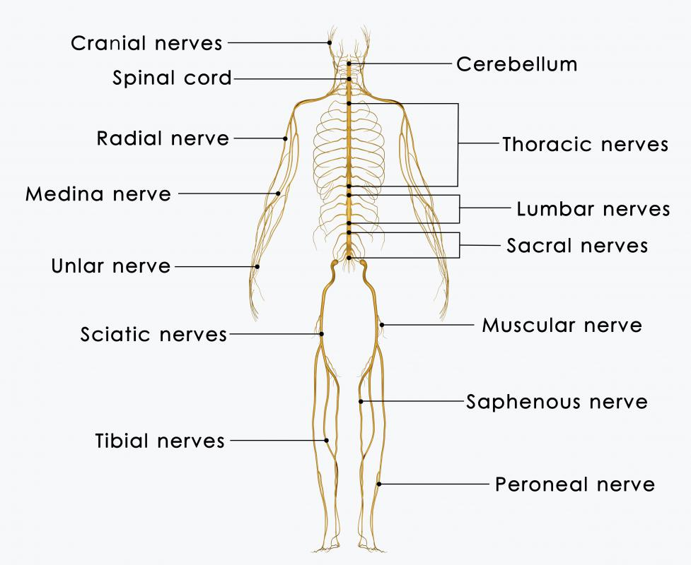 The sacrum has four openings through which the sacral nerves travel.