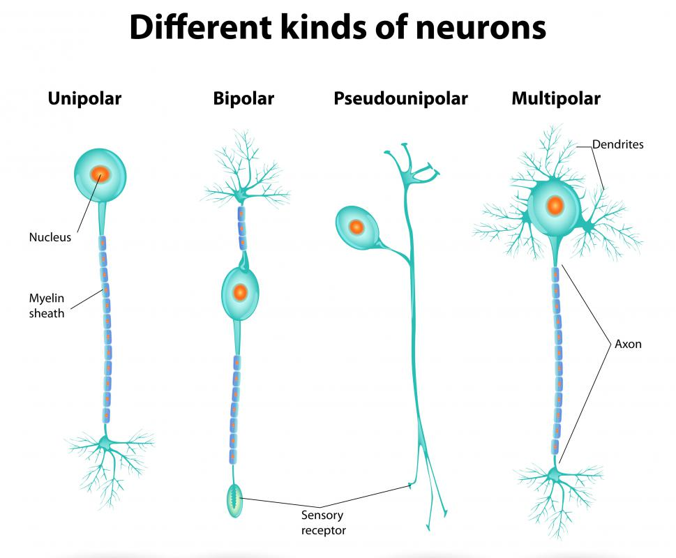 Neurons are specialized cells responsible for conveying electrical and chemical signals to and from the brain and spinal cord.